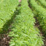 General Guidelines for growing Hemp